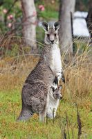 New Aussie VP Skippy, http://en.wikipedia.org/wiki/Image:Kangaroo_and_joey03.jpg, by Fir002, GFDLicence